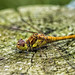 Potteric Carr: Common Darter Dragonfly