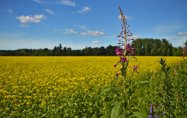 A piece of Finnish countryside. Fireweed on the edge of the rapeseed field. #Finland #summer