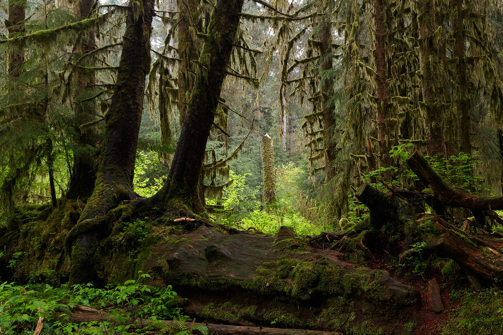 Trees, some fallen, some standing, some broken, along the Hall of Mosses Trail in the Hoh Rain Forest in Olympic National Park