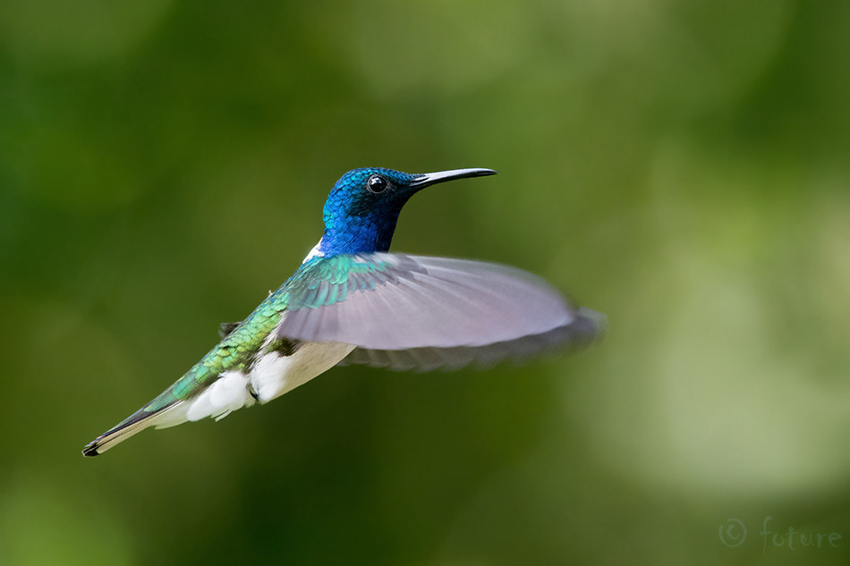 Florisuga, mellivora, White-necked, Jacobin, Great, Hummingbird, White, bellied, Collared, Sarapiqui, valley, Costa Rica, Kaido Rummel
