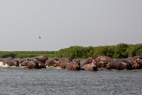 murchison murchisonfallsnationalpark uganda nwoya northernregion lakealbert hippopotamus pod naturethroughthelens