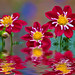 """Dahlias In """"Water"""" by Mimi Ditchie"""