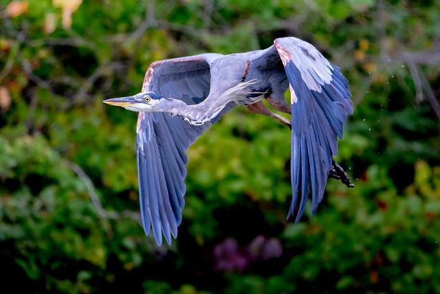 One Great Blue Heron Over Kinnelon Lake
