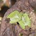 Common Green Shieldbugs - Palomena prasina