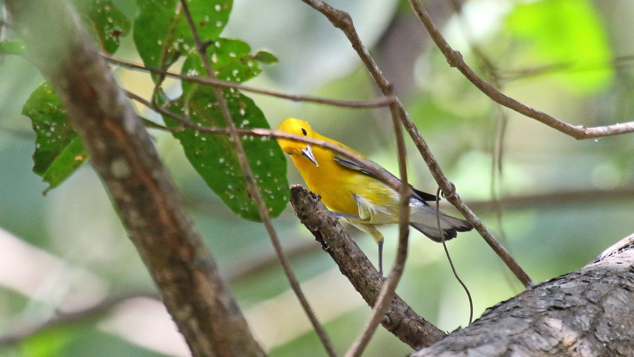 Protonotary warbler - Protonotaria citrea