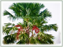 Saribus rotundifolius (Round-leaf Fountain Palm, Footstool/Fan Palm, Java Fan/Table/Anahaw/ Palm)
