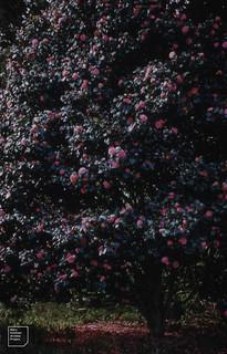 Camellia ? sinensis Little Barrier Island, 1957
