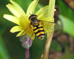 Eupeodes latifasciatus