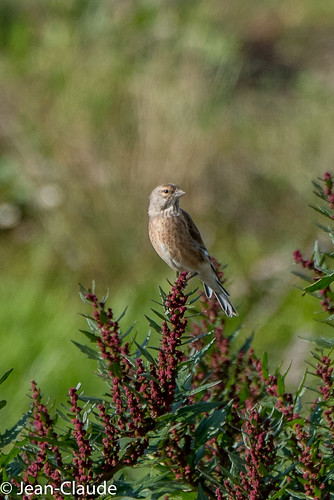 Carduelis cannabina ♀ - Common Linnet.