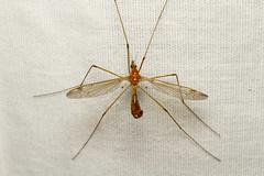 Tipulidae sp. (Cranefly) - Everett WA