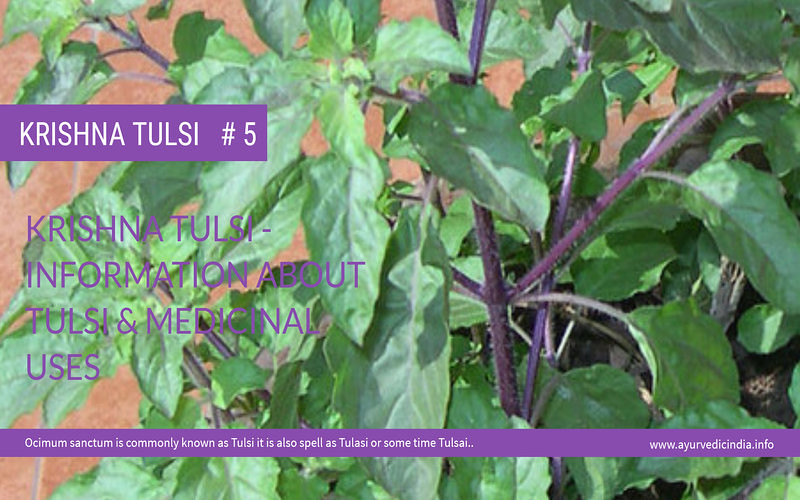 krishna Tulsi – Information About Tulsi & Medicinal Uses