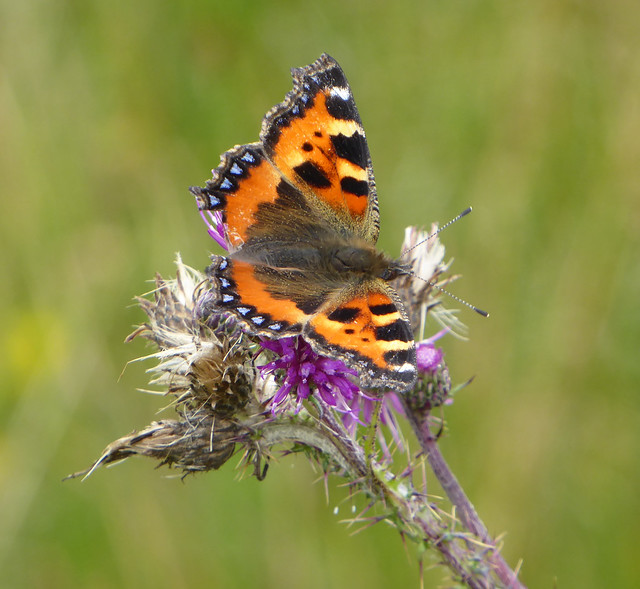 Small tortoiseshell butterfly on marsh thistle.