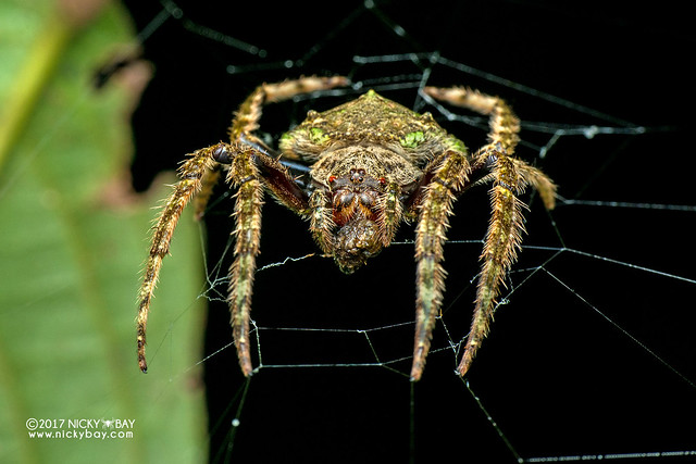 Wrap-around orb weaver (Talthybia sp.) - DSC_9104