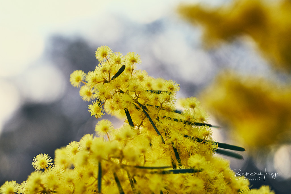 Spring Time Golden Wattle