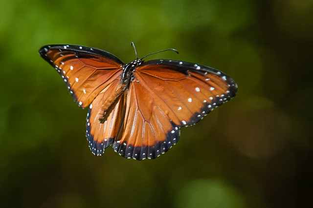 Queen butterfly in flight