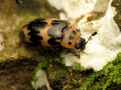 Little Pleasing Fungus Beetle
