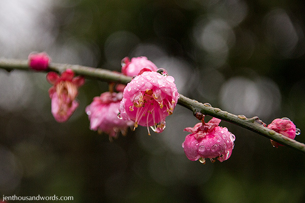 Blossoms after the rain 06