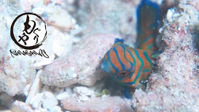 小指の爪サイズのニシキテグリ幼魚ちゃん♪