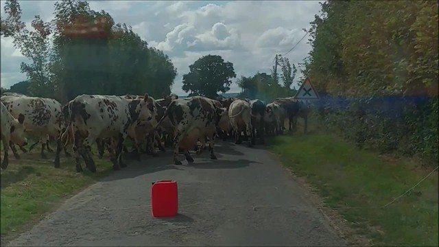 Crossing cows on the way back