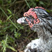 bad hair day for this Muscovy duck by Anne Davis 773