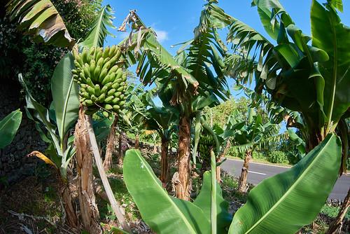 Field of banana plants