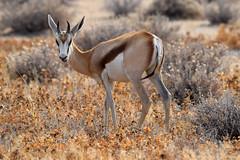 Springbok (Antidorcas marsupialis), Etosha NP, Namibia