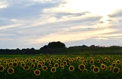 Sunflowers in Mattituck