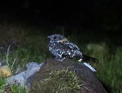 Band-winged Nightjar (Systellura longirostris)