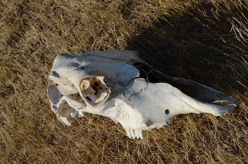 Grasslands East block skull