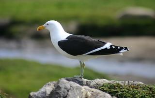Kelp Gull  Larus dominicanus