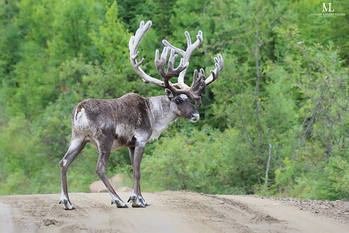 Woodland caribou - Caribou forestier - Rangifer tarandus