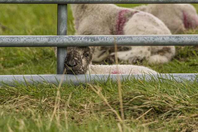 Gated Lamb, Nikon D7100, AF-S Nikkor 200-500mm f/5.6E ED VR