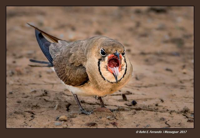 El badall de la carregada (Glareola pratincola) Yawning Collared Pratincole (Marjal de Sueca, la Ribera Baixa, València, Spain)