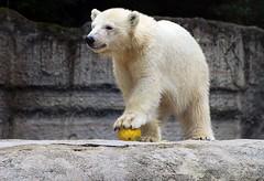 Polarbär Quintana