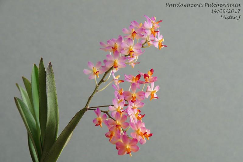 Vandaenopsis Pulcherrimin (Phalaenopsis pulcherrima X Vanda miniata) 37047931992_f30098e382_c