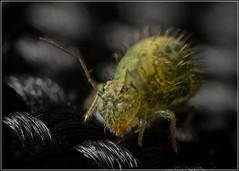 Sminthurus viridis