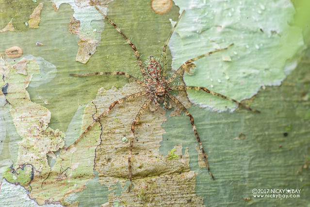 Huntsman spider (Pandercetes sp.) - DSC_8933