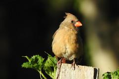 Northern Cardinal in Greenbelt Community Garden