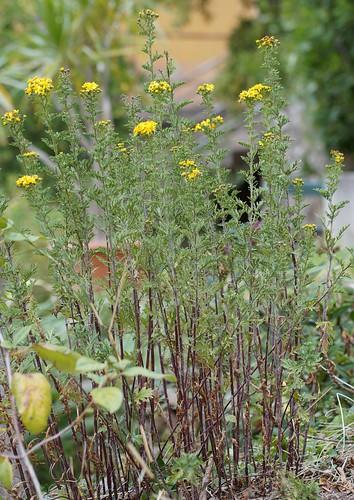 Jacobea vulgaris (= Senecio jacobaea) - séneçon jacobée 37363817702_aa3cb6fe42