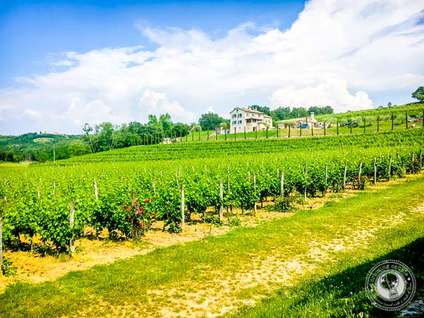 Kabola Vineyards In Istria Croatia