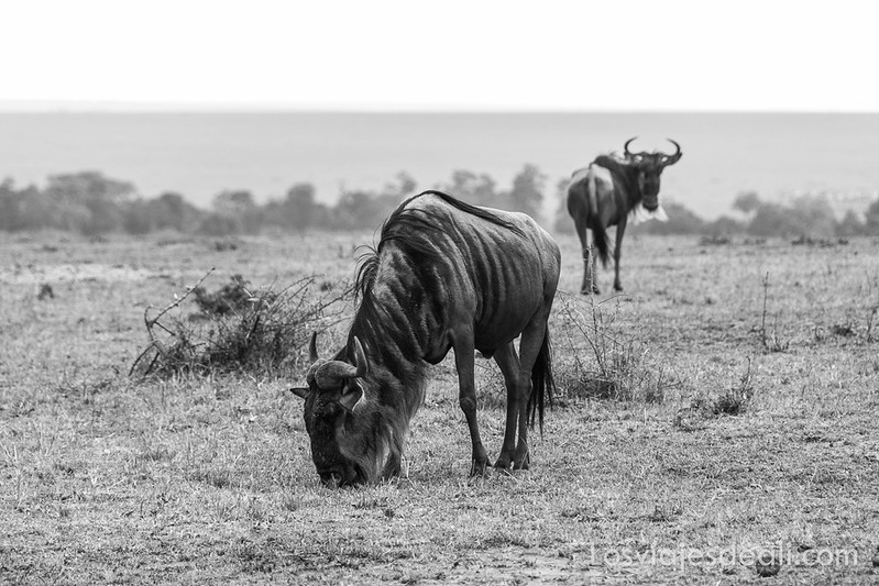 dos días en Masai Mara ñúes