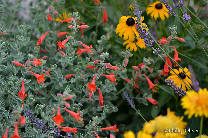 rudbeckia-california-fuchsia