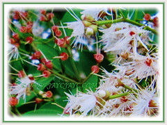 Fragrant and powderpuff-like flowers of Syzygium myrtifolium (Red Lip, Australian Brush Cherry, Kelat Paya/Oil in Malay), 3 Aug 2017
