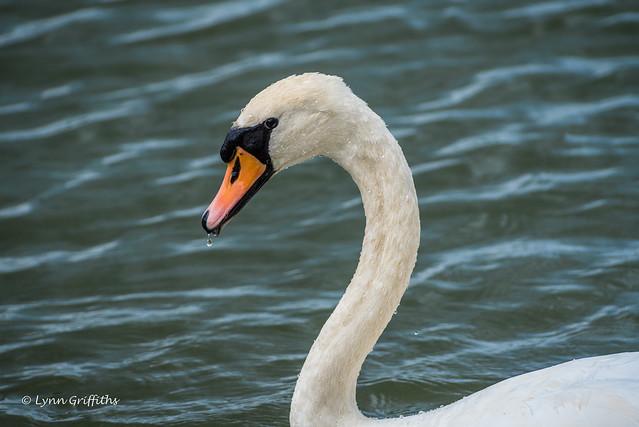 Wet Swan D75_9877.jpg, Nikon D750, AF-S VR Nikkor 300mm f/2.8G IF-ED II