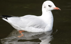 Black-headed Gull (immature)