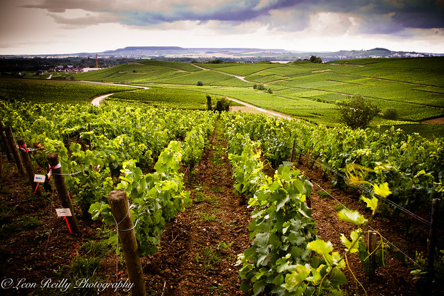 Bollinger's Vineyards, Champagne.