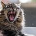 The ferocious yawn!