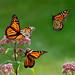 Monarch butterfly fall migration by ML Rasmussen