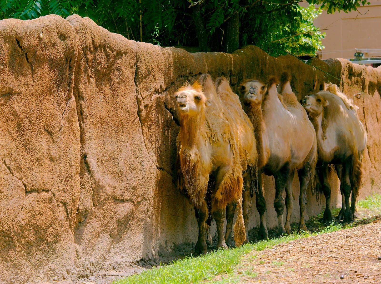 Bactrian Camel_3