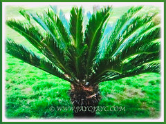 Cycas revoluta (Japanese Sago Palm, King Sago, Sago Cycad, Sago Palm) with lush and dark green recurved foliage, 14 Aug 2017